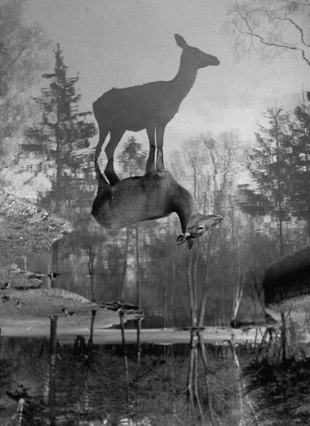 A deer standing in a wooded stream, with its reflection in the water, Ralph Crane, 1952